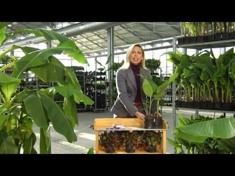 BALDUR-Garten   Winterharte Bananen